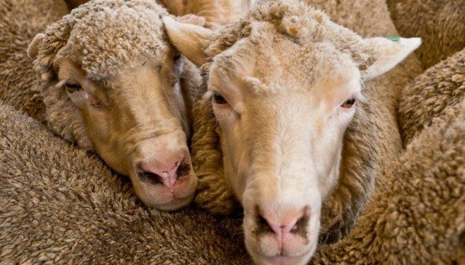 Māras dienas paražas: apdāvini ābeles un aitas un nedari sāpes kokiem