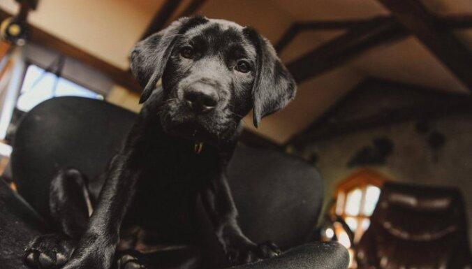 Suns – pavadonis. Kā melnais Pīķis un citi mīluļi top par cilvēku palīgiem