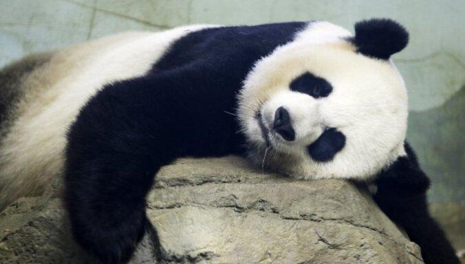 Гигантская панда родила двух детенышей в зоопарке Вашингтона