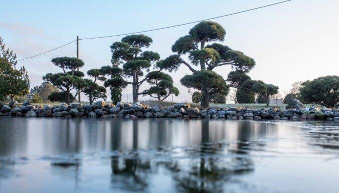 Foto: Ainaviskais bonsai priežu dārzs Doles salā