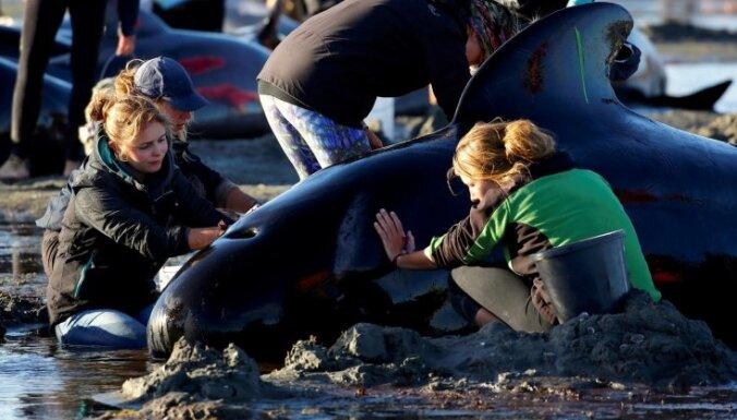 В Новой Зеландии остаются на берегу около 240 дельфинов-гринд