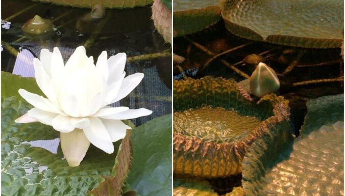 LU Botāniskajā dārzā pirmo reizi pārziemojusi milzu ūdensroze