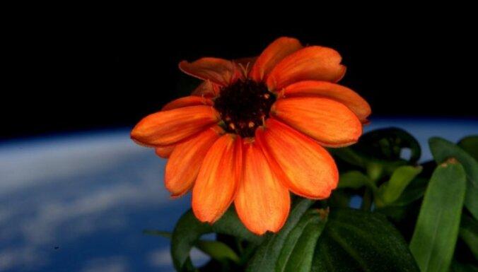 Starptautiskajā Kosmosa stacijā uzziedējusi pirmā puķe