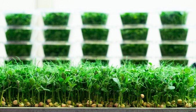 Kā mājās izaudzēt gardus mikrosalātus