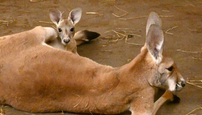 ФОТО. В Рижском зоопарке родился маленький кенгуренок