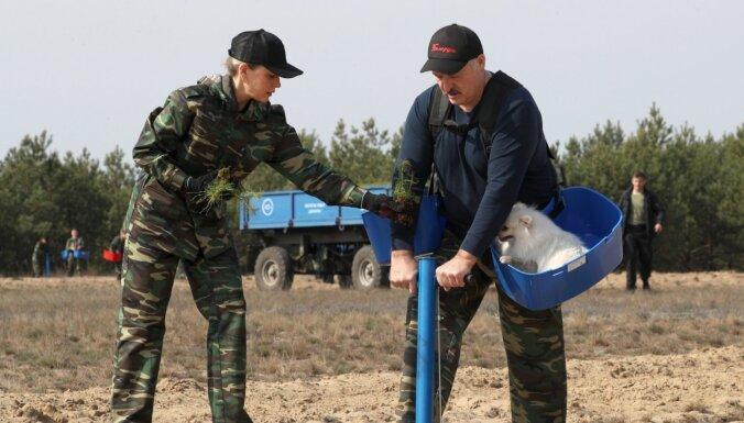 Foto: Lukašenko Covid-19 pandēmijas laikā piedalās 'subotņikā' – stāda kokus