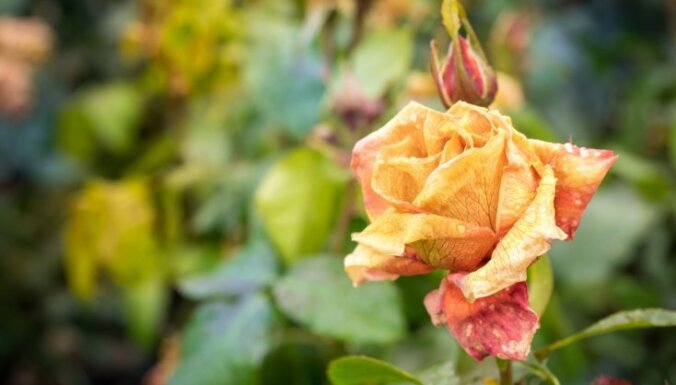 Ar kūdru un salmu žodziņiem – tautas padomi rožu ieziemošanai