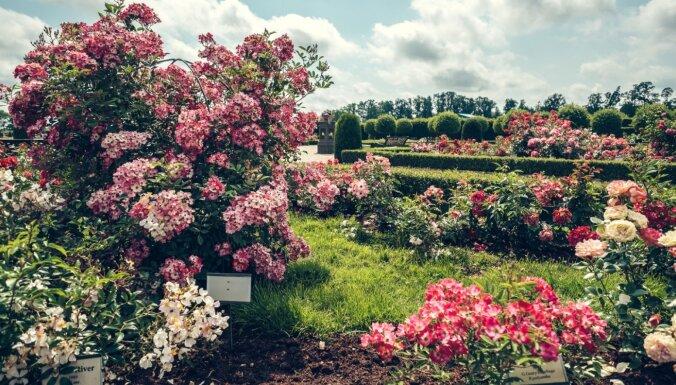 Rundāles pilī sāk ziedēt dārza karalienes rozes