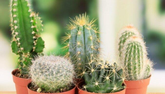 Adatainie skaistuļi kaktusi – kā par tiem pareizi rūpēties