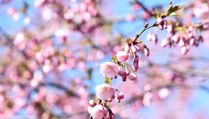 ФОТО: В Риге в Парке победы расцвела сакура