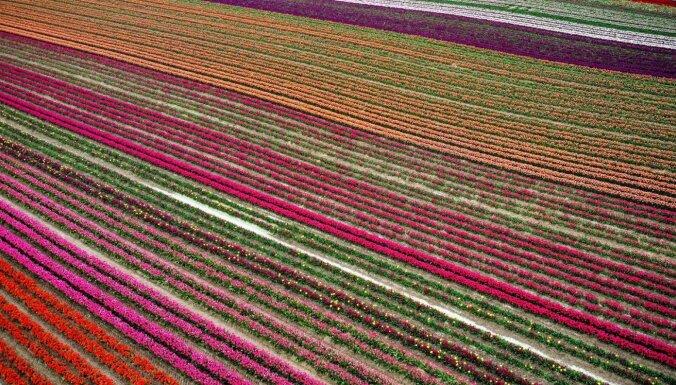 ФОТО. Яркие поля тюльпанов в Германии с высоты птичьего полета