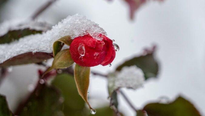 Audzētājas ieteikumi, kā rozes sagatavot ziemai