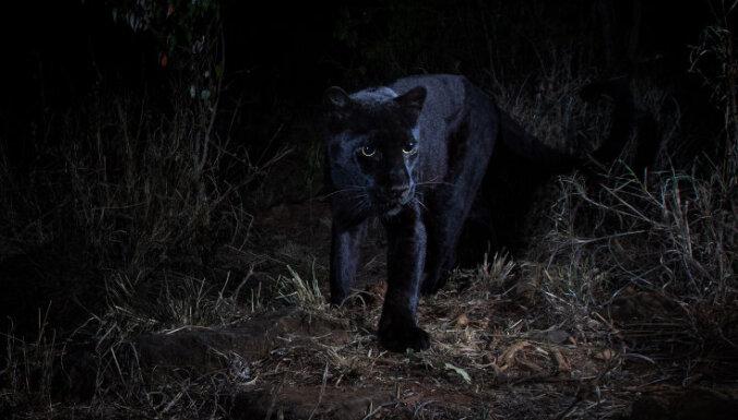 Reti kadri: Fotogrāfs Kenijā 'notver' melno leopardu