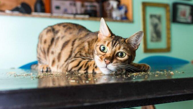Amizanti foto: Kā izskatās kaķi, kas apēduši kaķumētru