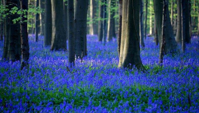 ФОТО. Лес из колокольчиков или бельгийское чудо