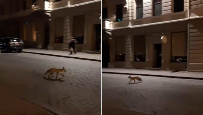 Video: Pie Saeimas nakts melnumā iemaldās lapsa