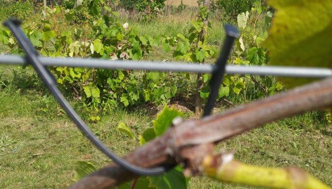 Kā vasarā parūpēties par vīnkokiem, lai tie bagātīgi ražotu