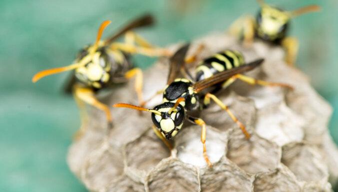 Piektdien slimnīcā nogādāti pieci kukaiņu sadzelti cilvēki