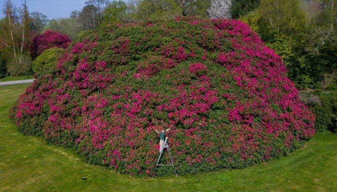 Uzziedējis Lielbritānijā dižākais rododendrs – deviņus metrus augsts krūms