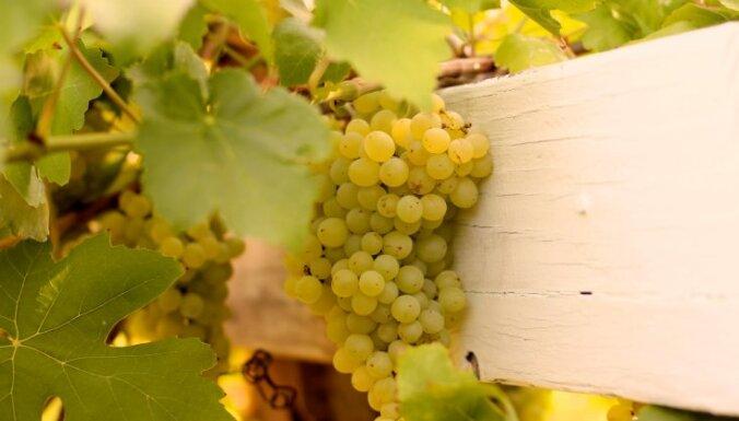 Sulīgo vīnogu audzēšana Latvijā – kādas šķirnes ir piemērotākās un kas jāievēro to audzēšanā?