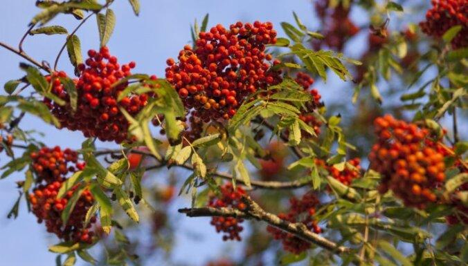 Jāvāc septembrī: iecienītākie savvaļas ārstniecības augi un to pielietojums