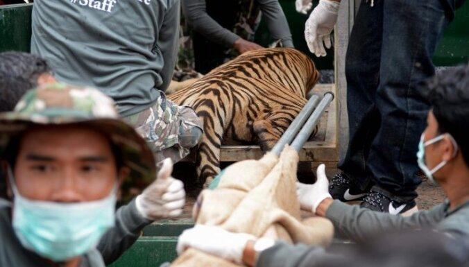 Pabeigta 140 tīģeru glābšanas operācija Taizemē