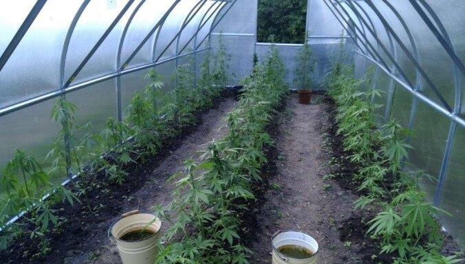 ФОТО. Полиция ликвидировали две плантации марихуаны, изъято почти 4 кг наркотиков