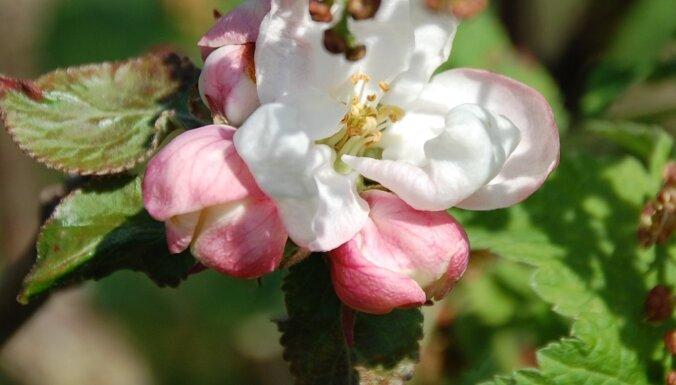 Dārza darbu kalendārs: augļu, dārzeņu un ogu dārzs maijā