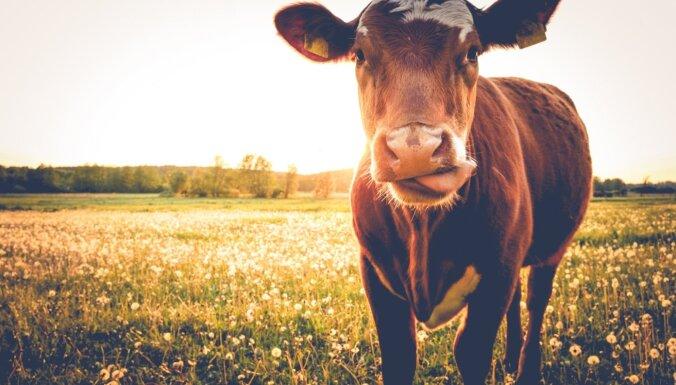 Объятия с коровами для снятия стресса стали трендом в Нидерландах