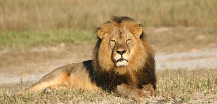 Ar plinti plecā pasaulē: lauvas Sesila nāve. Kurš maksās vairāk?