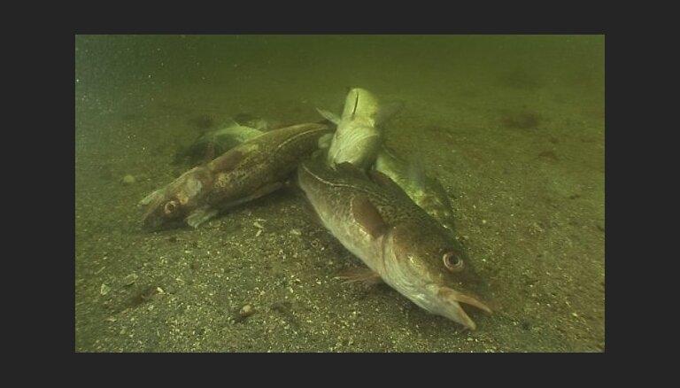 Baltijas jūrā 'pazudušas' lielās mencas; zvejnieki izmisumā