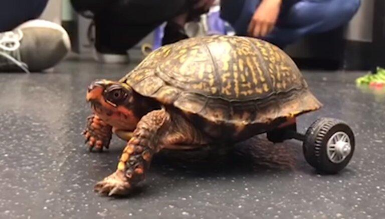 Veterinārārsti no 'Lego' klucīšiem izveido ratiņkrēslu bruņurupucim bez divām kājām
