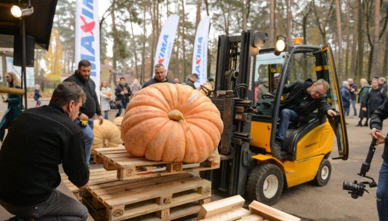 Noskaidrots šī gada Latvijas brangākais ķirbis – teju 330 kilogramus smags milzis