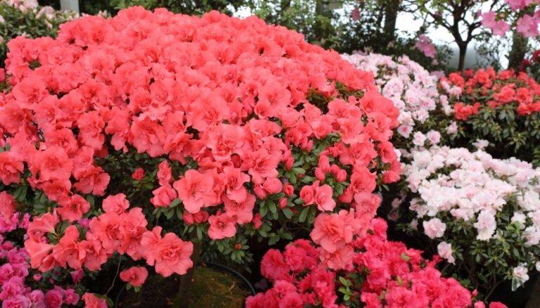 ФОТО. Буйство красок среди зимы: в Ботаническом саду ЛУ цветут азалии