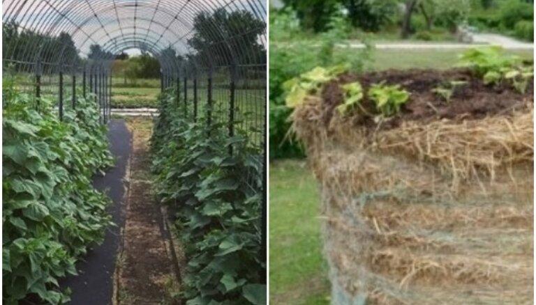 Gurķu arkas un dārzeņi siena rullī: neparasti veidi augu stādīšanai