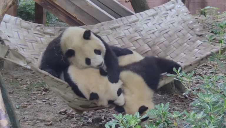 Amizants video: Neganti pandu lāči izgrūž viens otru no šūpuļtīkla