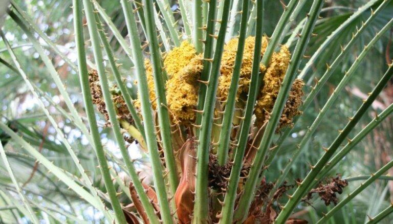 Foto: LU Botāniskajā dārzā bagātīgi uzziedējušas pundurpalmas