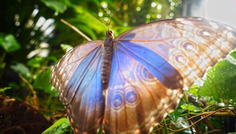 LU Botāniskā dārza Tropu tauriņu mājā sāksies 'Zilo morfīdu trakums'