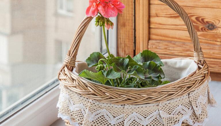 Balkonpuķes, kuras var pārziemināt, lai nākamgad nebūtu jāpērk jaunas