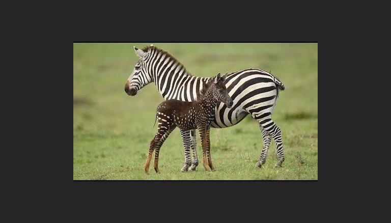 """ВИДЕО. В Кении родилась необычная зебра """"в горошек"""""""
