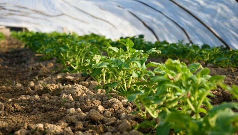 Nelabvēlīgo laikapstākļu dēļ dažādu graudaugu un dārzeņu kultūru attīstība ir novēlojusies
