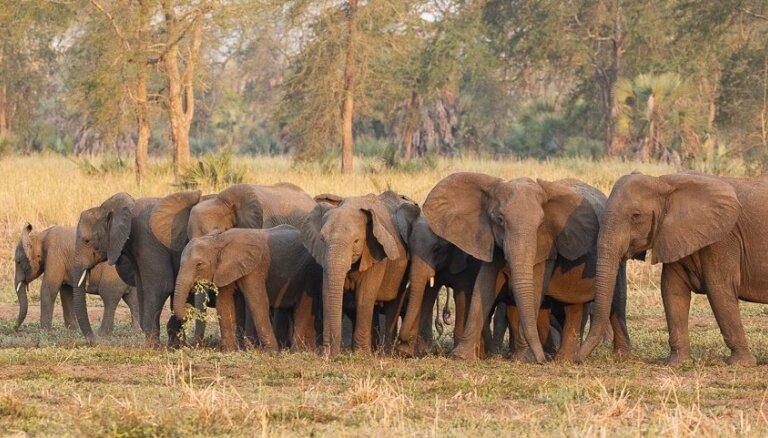 Skarbā evolūcija pētnieku acu priekšā. Malumedniecības dēļ dzimst vairāk ziloņu bez ilkņiem