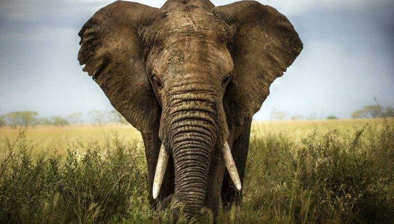 Malumedniecības dēļ krasi audzis bez ilkņiem dzimušo ziloņu skaits Āfrikā