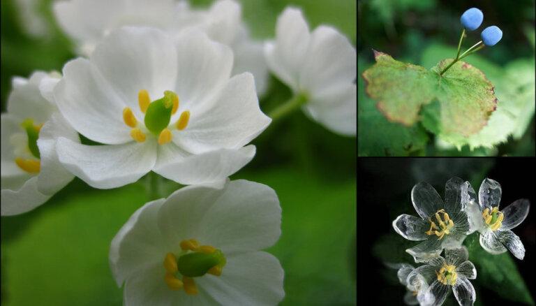 ФОТО. Цветок, который становится прозрачным во время дождя