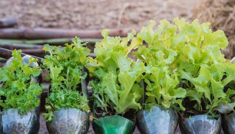 Dārziņš pudelēs: video pamācība neparastai sēklu audzēšanai