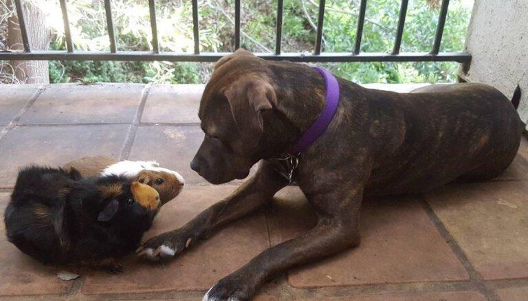 Divas jūrascūciņas un suns: sirsnīgas draudzības piemērs no Sanfrancisko