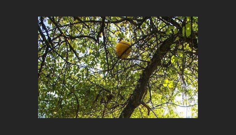 Foto: Mārupē ābelē izaudzis brangs, desmit kilogramus smags ķirbis