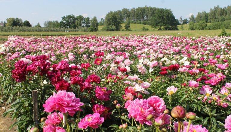 Deviņi dārzi Latvijā, kur baudīt pasakaino peoniju ziedēšanu