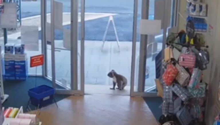 Amizants video no Austrālijas: Koalu lācēns 'iepērkas' veikalā