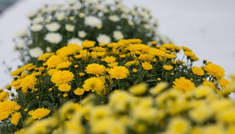 Rudens sezonas karalienes mārtiņrozes: padomi audzēšanā un saglabāšanā nākamajai sezonai
